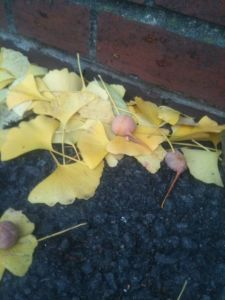 Ginko nuts and leaves on the ground
