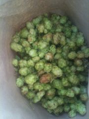 Harvested hop cones